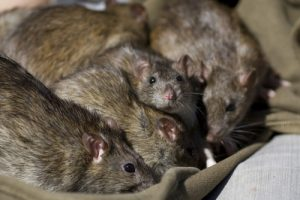 Rats Critter Control West Palm Beach