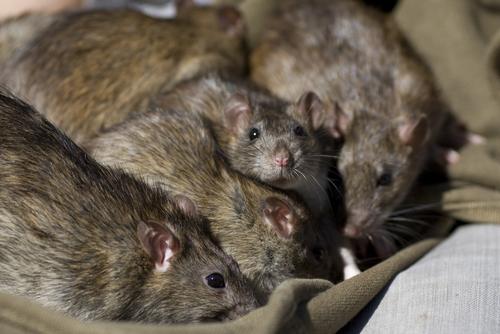West Palm Beach Rats