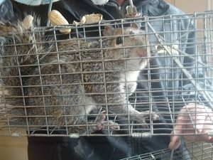 West Palm Beach squirrel in trap