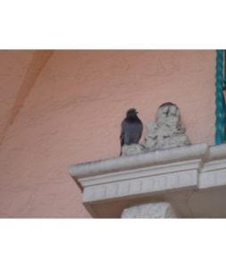 West Palm Beach pigeon