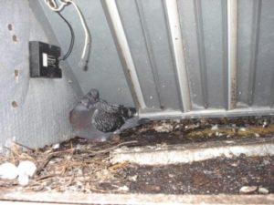 West Palm Beach pigeons