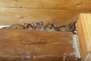 rat infestation West Palm Beach