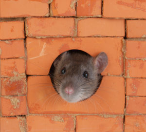 West Palm Beach Rat
