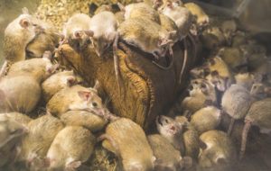 Rodent Infestation West Palm Beach