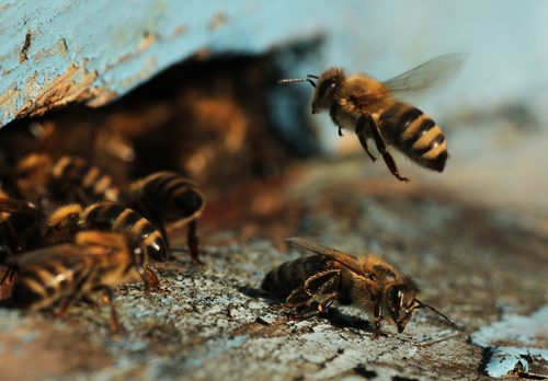 bee-removal