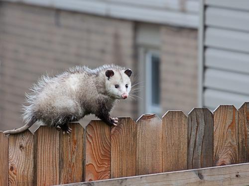 West Palm Possum