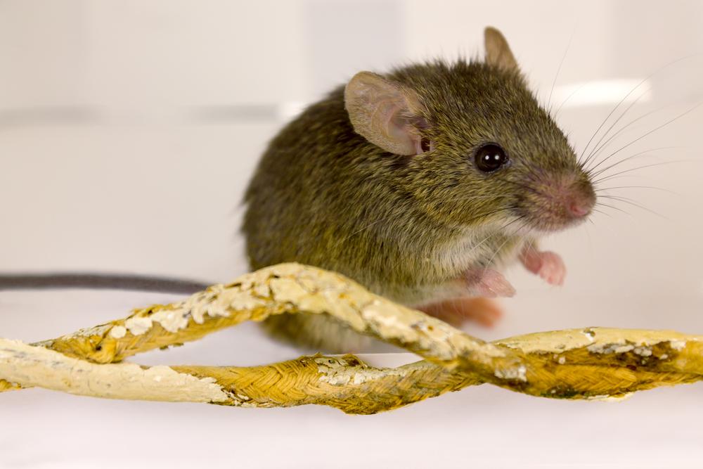 West Palm Beach Mouse