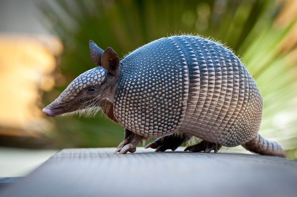West Palm Armadillo